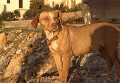 stray dog in Paros Island